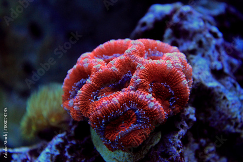 Red Acanthastrea LPS coral in aquarium tank © Kolevski.V