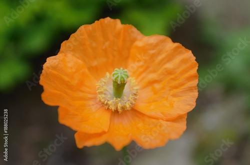 orange flower papaver macro - 188025238