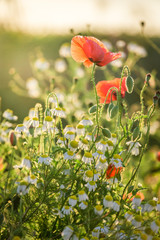 Closeup of poppy seed in the field at sunrise, Poland