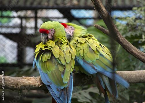 Aluminium Papegaai Great green macaw, (Ara Ambigua)