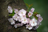 Tree Trunk with blooming Cherry Blossom Twig - 188038052