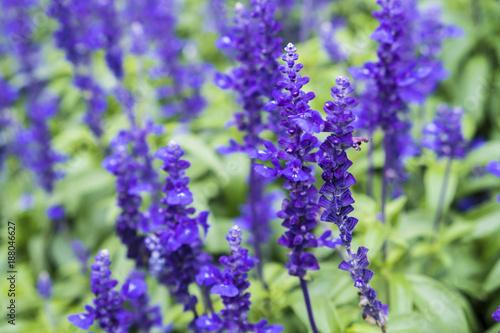 Lavender in the garden on Lavender green leaves background. - 188046627