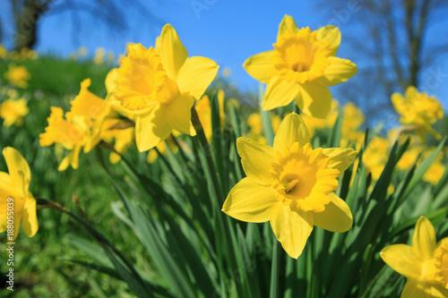 Żółte żonkile wiosną