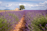 Provence, Valensole Plateau, France. Lavender field in bloom