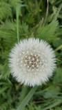 Fluffy dandelion seedhead close-up