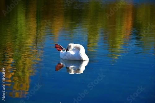 Fotobehang Zwaan Schwan im herbstlichen Gänsedrecksee bei Otterstadt