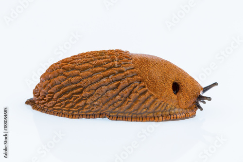 nudibranch on white background