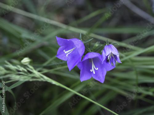 Fotobehang Iris peachleaved bellflower (Campanula persicifolia)