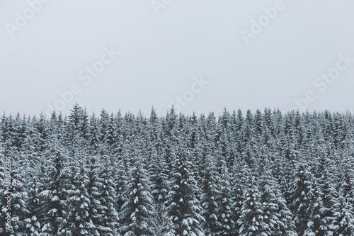 Thick evergreen forest in winter