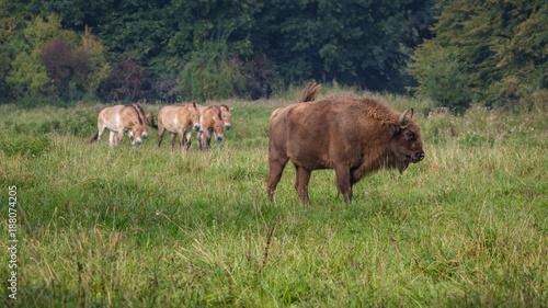 Foto Murales Wisent - European Bison