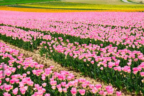 Fotobehang Tulpen Champ des tulipes roses, jaunes, oranges au printemps, Provence, France.