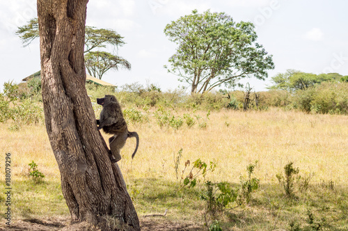 Fotobehang Aap Isolated baboon sitting on a stone in the savannah of Masai Mara Park in Kenya
