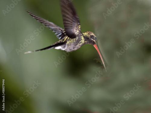Hummingbird w halnym mgłowym lesie Maquipucuna, Ekwador