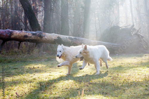 Foto Murales Dog of breed White Swiss Shepherd in the forest