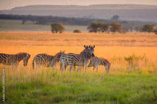 Fototapeta Zebra roaming the African savannah