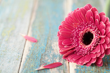 Single bright gerbera daisy flower closeup on vintage wooden background. Greeting card on mother or womans day. .