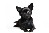 Studio shot puppy chihuahua