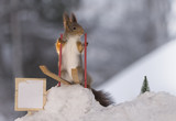 red squirrel holding ski rods stands on skis