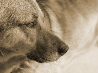 dog brown light spots, serious, profile, toned in sepia, concept, closeup