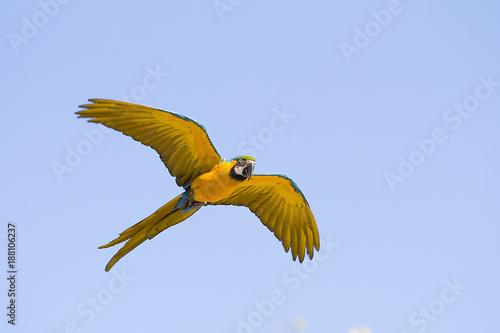 Aluminium Papegaai Blue and yellow macaw, Ara ararauna.