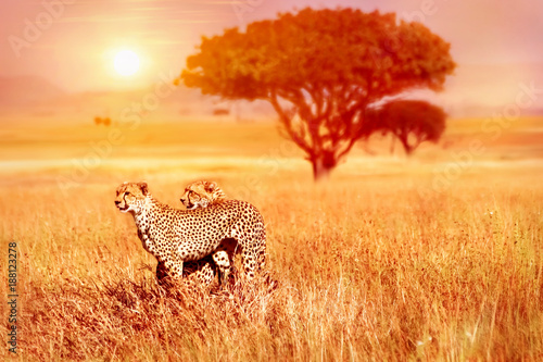 Poster Two cheetahs in the Serengeti National Park.