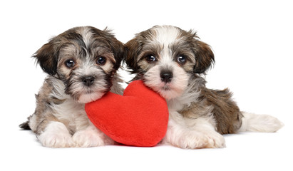 Two lover Valentine Havanese puppies lie together with a red heart