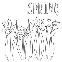 vector contour narcissus flowers