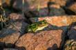 Green Frog On Rock In Sun