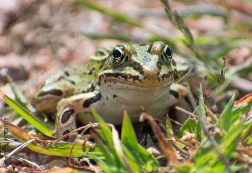 Fotobehang Kikker Frog Closeup