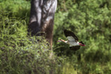 Egyptian Goose in Mapungubwe National park, South Africa - 188130436