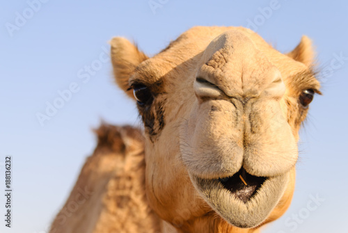Aluminium Kameel Closeup of a camel's nose and mouth, nostrils closed to keep out sand