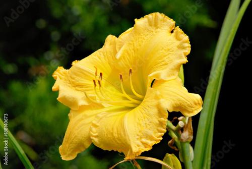 """Piękny żółty liliowiec """"Alec Allen""""."""