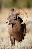 Bighorn Sheep - 188142637