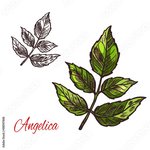 Angelica spice herb vector sketch plant icon
