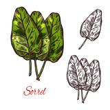 Sorrel vegetable spice herb vector sketch icon