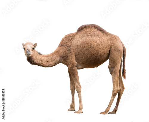 Fotobehang Kameel Arabian camel isolated on white background