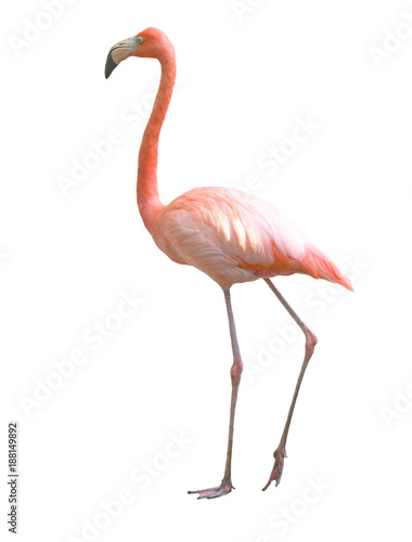 ptak flamingo na białym tle