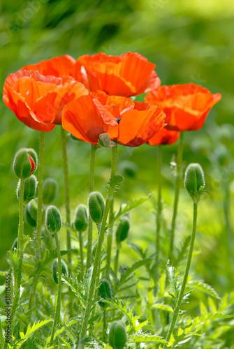 Poppies - 188151655