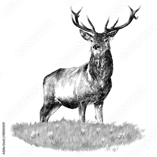 Fototapeta the deer head is in the green sketch vector graphics monochrome black-and-white drawing