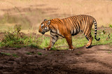 tiger walking in Indian jungle