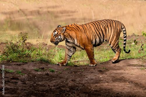 Fotobehang Tijger tiger walking in Indian jungle