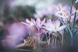 Fototapety Close up of spring crocuses flowers, outdoor springtime nature