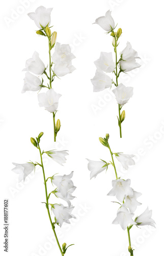 four white large isolated bellflowers collection - 188177602