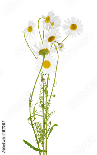 In de dag Bloemen chamomile flowers bunch on white
