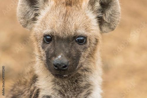 Foto Murales Hyena