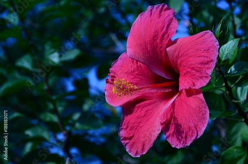 Fotobehang Iris Pink hibiscus flower in the evening.