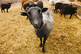 the black sheep looking in the frame. portrait of adult lamb amid the straw. even-toed ungulate mammal. - 188193489