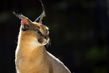 Caracal in the wild, a portrait