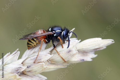 Foto Murales Red wasp, Vespula rufa