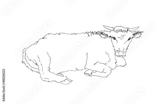 Malvorlage Liegende Kuh Batavusprorace